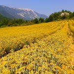 Helychrysum field